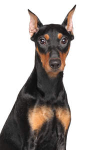 A lovely young bright eyed German Pinscher with cropped ears