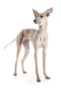 A light brown Italian Greyhound with its ears perked awaiting a command