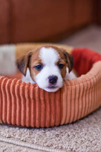 A wonderful little Jack Russell Terrier puppy, resting in it's bed