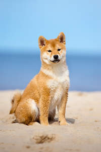 A Japanese Shiba Inu with beautiful tall ears sitting on the beach
