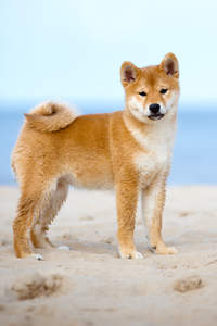 A growing young Japanese Shiba Inu showing off it's wonderful bushy tail