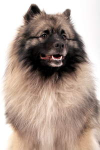 A close up of Keeshond's beautiful thick coat with lovely colour patterns