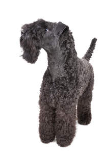 A Kerry Blue Terrier with a beautifully groomed, tight curled coat