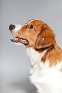 A close up of a Kooikerhondje's beautiful long nose and soft white coat