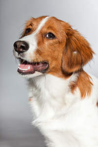 A close up of a Kooikerhondje's incredible soft brown and white coat