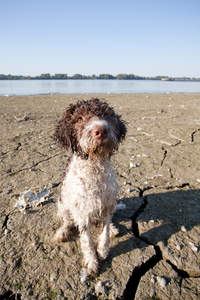 A wet Lagotto Romagnolo eager to play