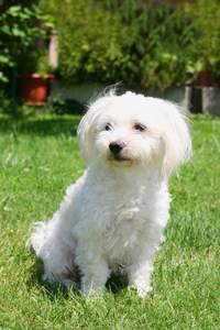 An adult Maltese sitting on the grass, waiting for a command from it's owner