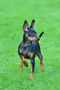 A gorgeous Miniature Pinscher ready for a game