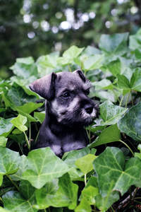 A wonderful Miniature Schnauzer's head poking out of the bushes