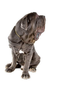 A beautiful Neapolitan Mastiff, showing off it's giant paws