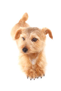 A handsome little Norfolk Terrier stretching out its legs and claws
