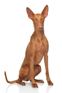 A gorgeous bitch Pharaoh Hound sitting neatly