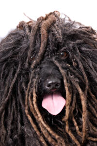 A close up of a Puli's incredible dreadlock coat