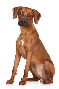 A lovely, little Rhodesian Ridgeback puppy sitting very tall and neatly