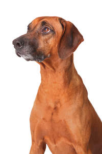 The stricking head of a wonderfully proud Rhodesian Ridgeback