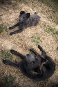 Two Schipperkes lying together, waiting patiently for some attention