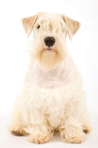A Sealyham Terrier with its typically sharp ears, sitting neatly