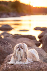 A Shih Tzu with a beautiful, long coat lying on a rock