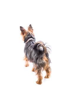 A Silky Terrier showing off it's beautiful, long, soft coat