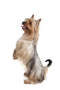 A Silky Terrier standing up on it's hind legs, wanting some attention