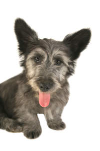 A close up of a Skye Terrier's incredible big, soft ears