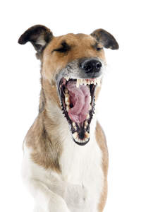 A lovely, little Smooth Fox Terrier yawning