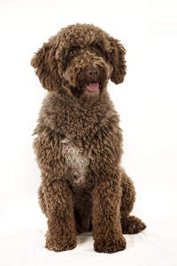 An adult Spanish Water Dog sitting neatly, waiting for a command