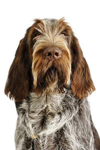 A close up of a Spinone Italiano's beautifully groomed coat