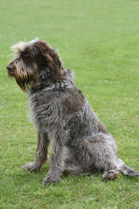 A lovely adult Spinone Italiano sitting neatly, waiting for a command from it's owner