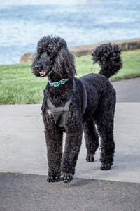A beautiful black Standard Poodle, showing off it's great, big, bushy tail