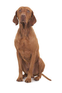 A beautiful adult male Vizsla sitting very tall and neatly, awaiting a command