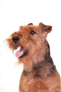 A close up of a Welsh Terrier's scruffy beard and floppy ears