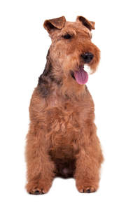An adult male Welsh Terrier sitting patiently, awaiting a command