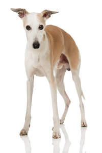 A young male Whippet with his ears perked attentively