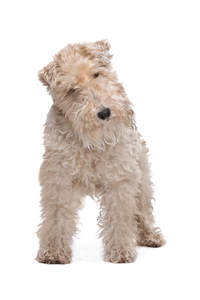 A Wire Fox Terrier's beautifully soft white coat
