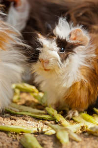 A lovely little Abyssinian Guinea Pig with long scruffy fur