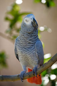 A lovely African Grey Parrot's beautiful, white face