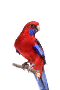 A Crimson Rosella perched on a branch