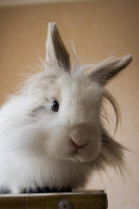 A Lionhead rabbit with big white fluffy fur on it's head