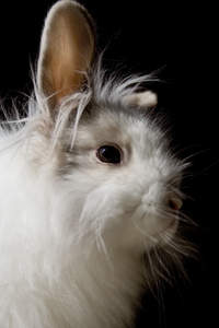 A close up of a Lionhead rabbit's wonderful fluffy head