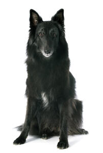 A beautiful Belgian Shepherd Dog (Groenendael) sitting down