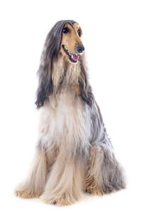 A Blonde and grey Afghan Hound with a beautifully groomed coat
