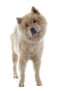 A young Eurasier standing tall waiting for some attention from it's owner