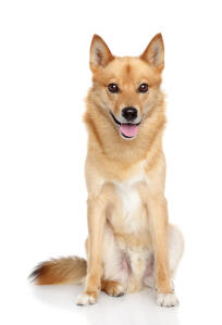 A beautiful young adult Finnish Spitz sat to attention