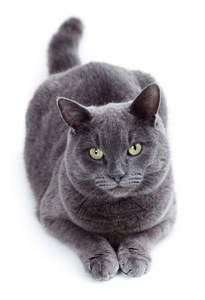 The Russian Blue has a gorgeous grey blue coat