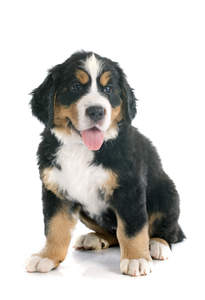 An active little Bernese Mountain Puppy