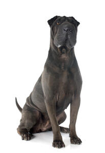 An adult dark coated Chinese Shar Pei sitting strong