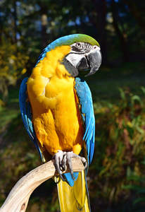 A Blue and Yellow Macaw's wonderful, yellow chest