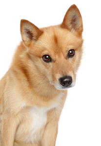 A young Finnish Spitz's beautiful pointed ears