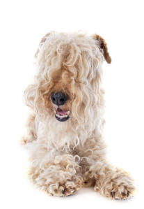 A healthy young Lakeland Terrier with it's curly haired feet and neat, long fringe